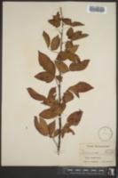 Image of Rubus jennisonii