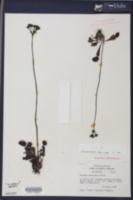 Dionaea muscipula image