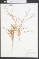 Paronychia baldwinii subsp. baldwinii image