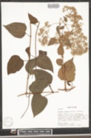 Mikania rimachii image