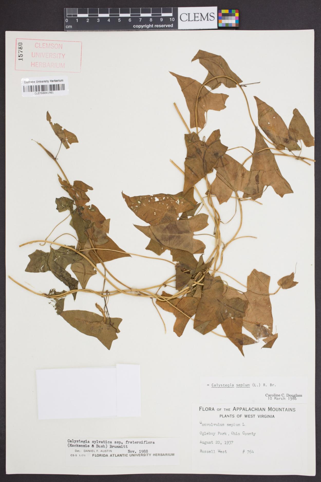 Calystegia silvatica subsp. fraterniflora image