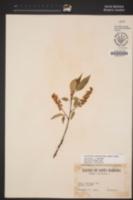 Prunus lusitanica image