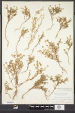 Matricaria discoidea image