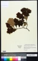 Quercus brittonii image