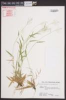 Dichanthelium dichotomum var. unciphyllum image