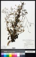 Image of Croptilon divaricatum