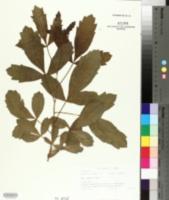 Image of Searsia rogersii