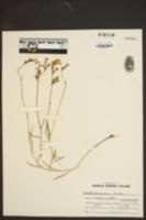 Lobelia glandulifera image