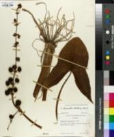 Sagittaria brevirostra image