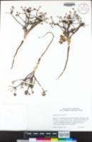 Sanicula graveolens image