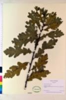 Image of Quercus dalechampii