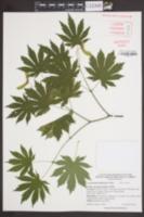 Image of Acer pseudosieboldianum