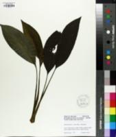 Image of Spathiphyllum wallisii