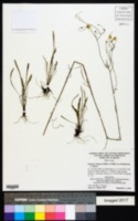 Erigeron strigosus var. dolomiticola image
