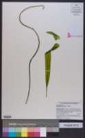 Image of Aponogeton crispus