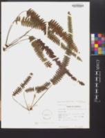 Terpsichore asplenifolia image