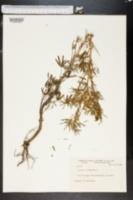 Image of Lupinus hirsutulus