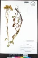 Packera clevelandii image