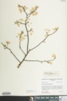 Image of Prunus alleghaniensis