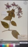 Image of Clerodendrum speciosum
