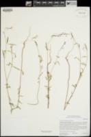 Clarkia similis image