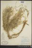 Image of Astragalus sieberi