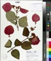 Image of Mussaenda erythrophylla