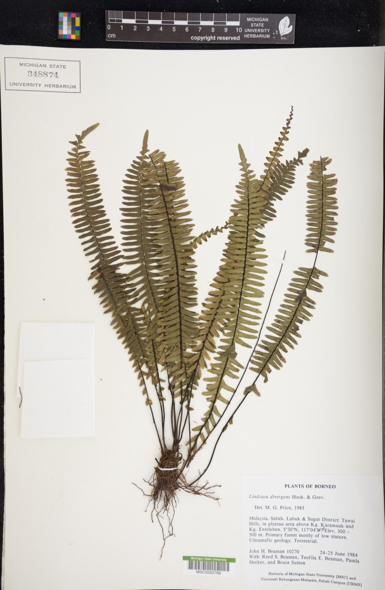 Lindsaea image
