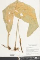 Anthurium schlechtendalii image