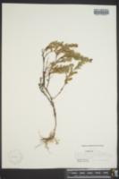 Hypericum hypericoides subsp. multicaule image