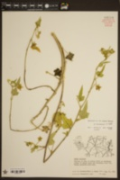 Anoda crenatiflora image