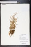 Xyris elliottii image