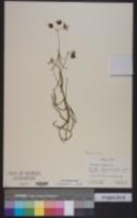 Image of Blepharodon lineare