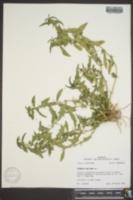 Hydrolea uniflora image