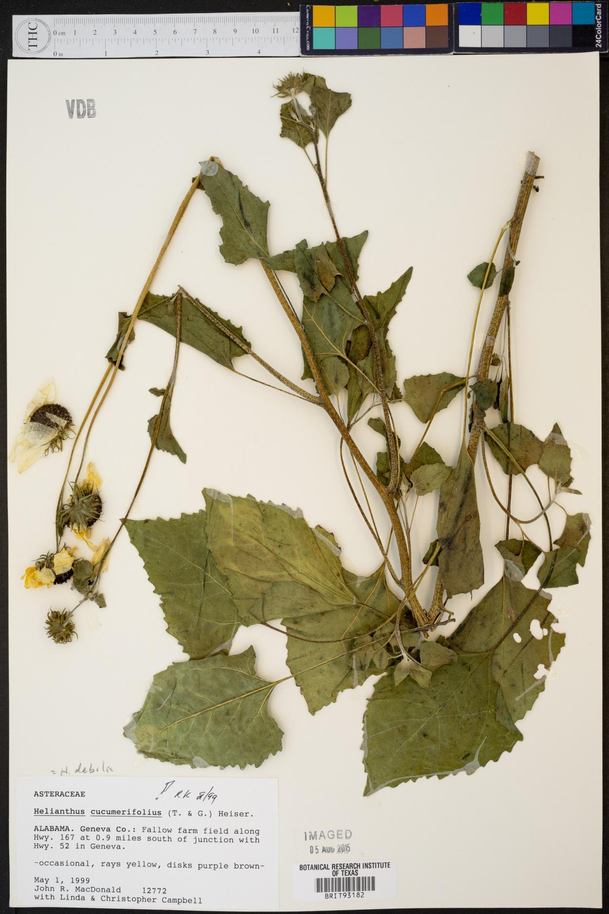 Helianthus cucumerifolius image
