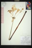 Hymenocallis occidentalis image