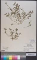 Image of Euphorbia innocua
