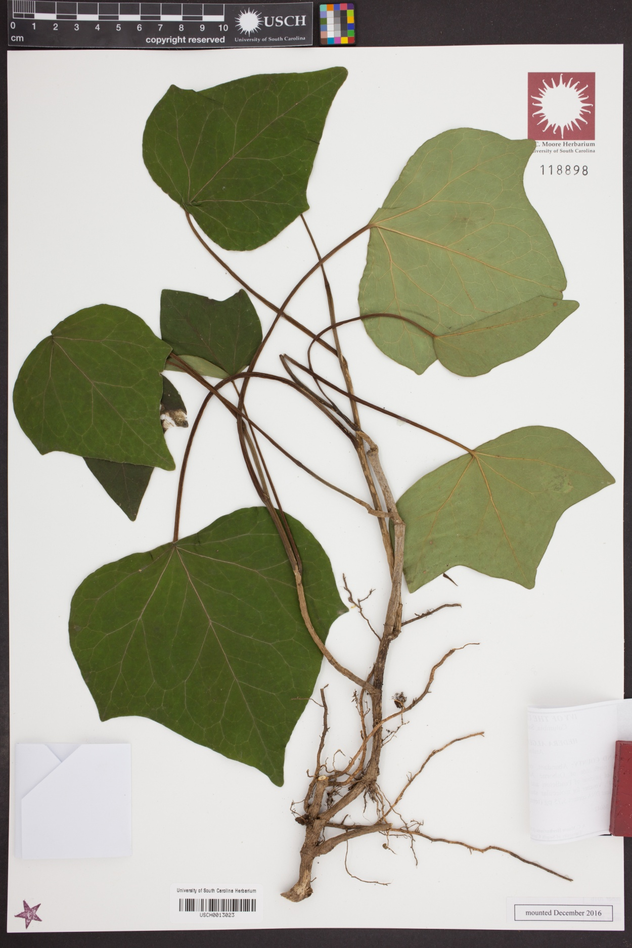 Hedera algeriensis image