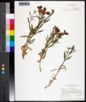 Dianthus subacaulis image