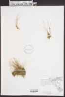 Eleocharis acicularis image