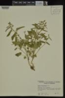 Tragia betonicifolia image