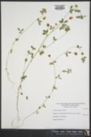 Trifolium campestre image