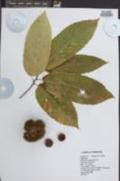 Castanea mollissima image
