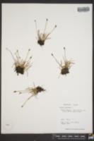 Juncus biglumis image