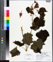 Malvaviscus arboreus image