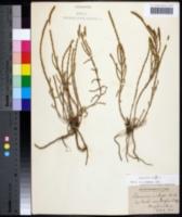 Salicornia depressa image