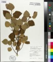 Image of Populus x smithii