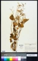 Claytonia sibirica image
