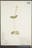 Arnica latifolia image