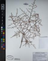 Eriogonum deflexum var. deflexum image